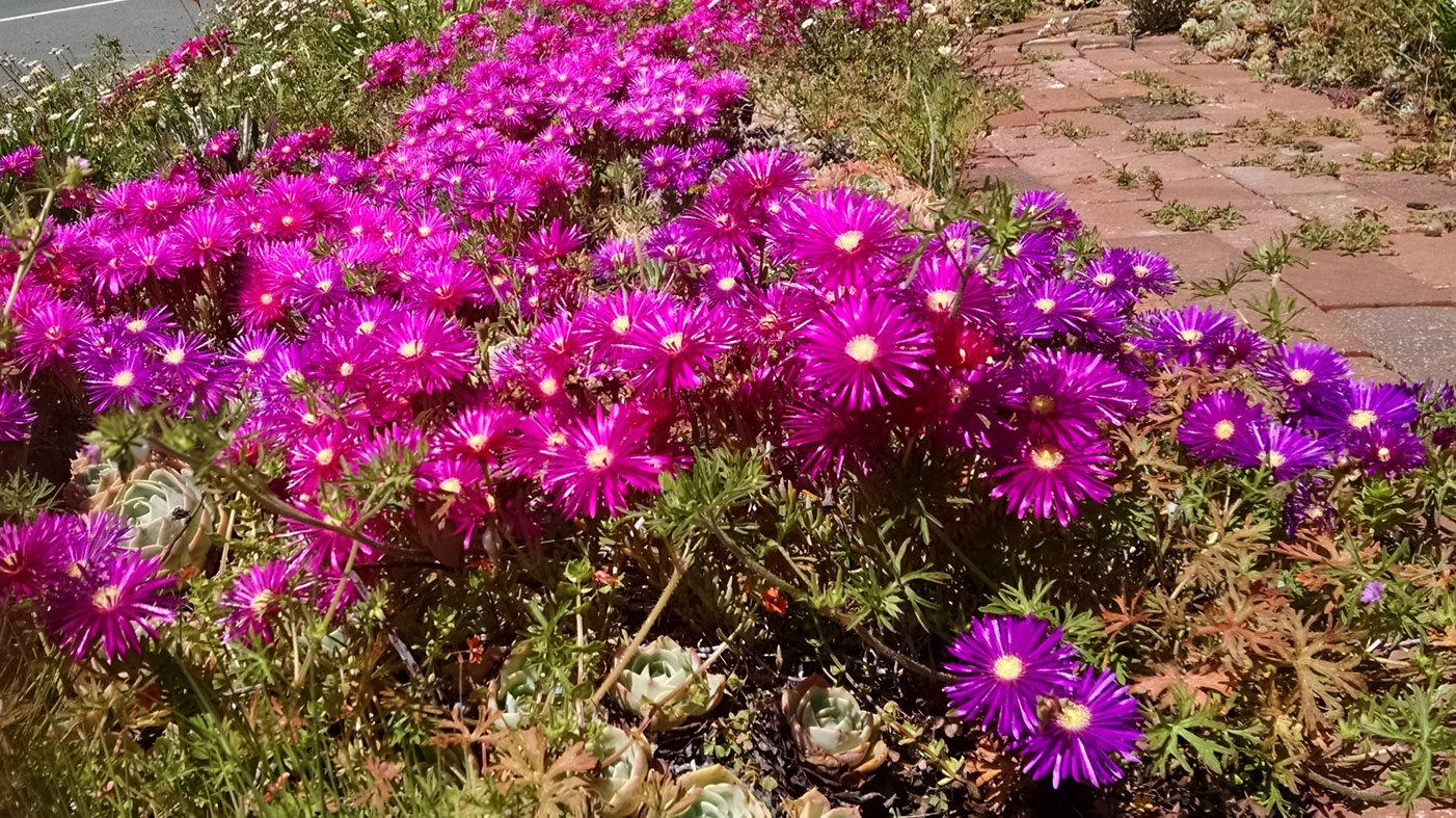 Ice Plant Ground Cover