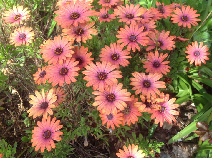 full sun perennials  osteospermums for fabulous color., Natural flower