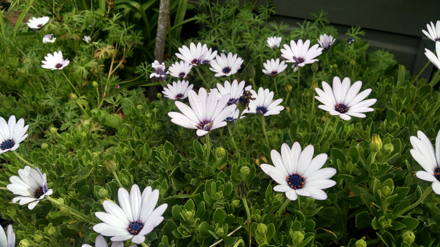 Full sun perennials osteospermums for fabulous color for Perennial ground cover plants for sun