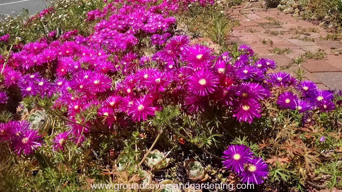 Pink Ice Plant Mass